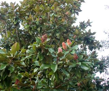 magnolia09291202.jpg