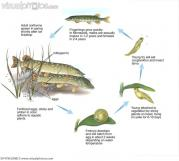 northern_pike_life_cycle_BF4796.jpg