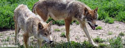 wolf400.jpg