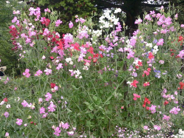 京都植物園2スイトピー