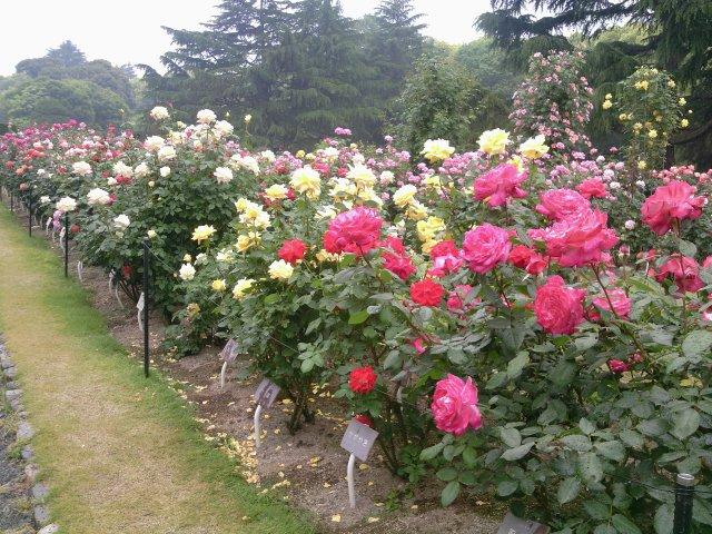 京都植物園5バラ