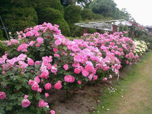 京都植物園6バラ