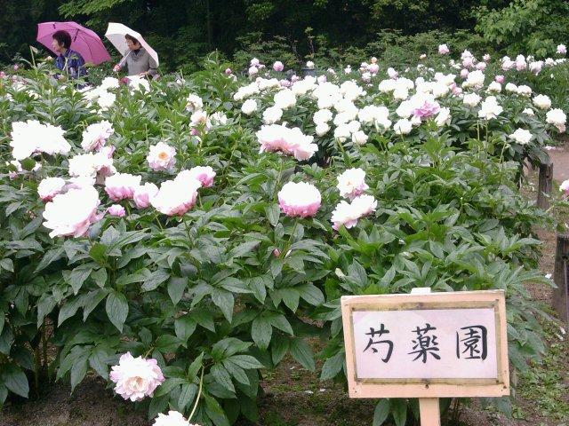 京都植物園芍薬10