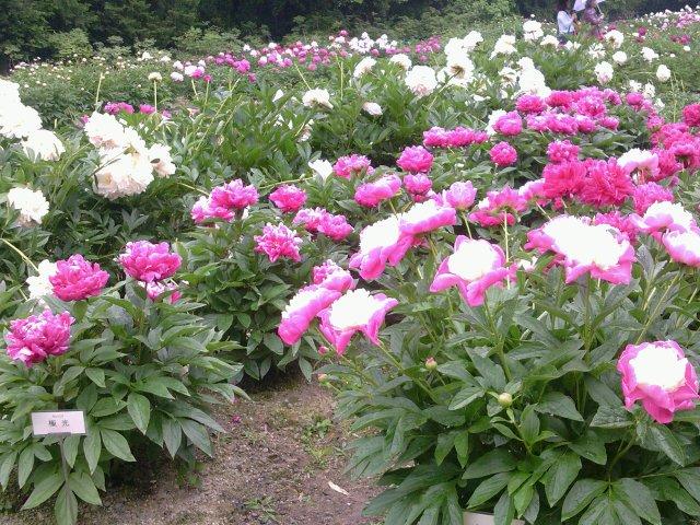 京都植物園芍薬11