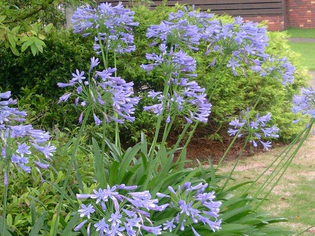 紫君子蘭1