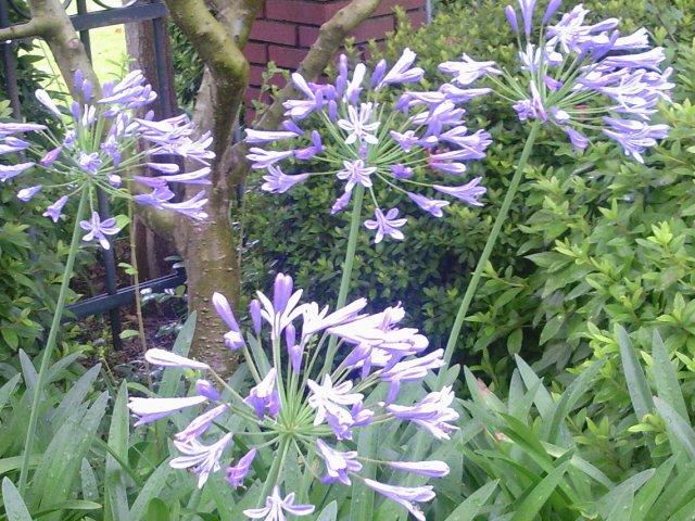 紫君子蘭2