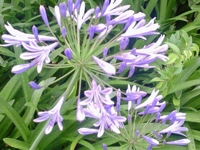 紫君子蘭3