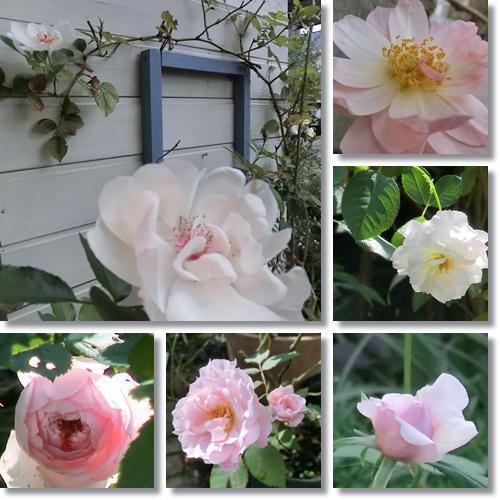 11月のバラ 1