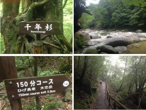 1000年杉_屋久島