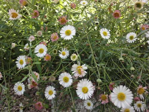 527のエリゲロンの花