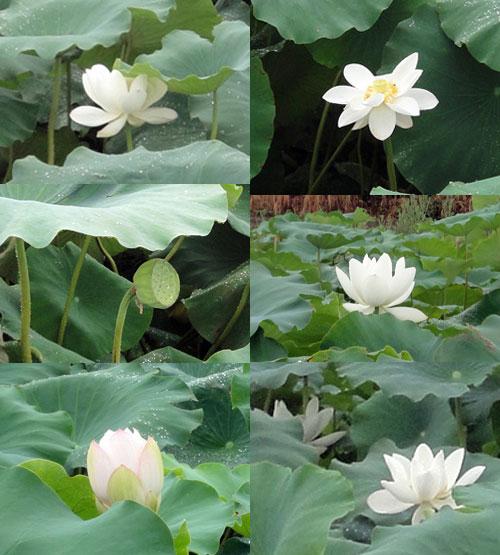 ハスの花たち8月の2