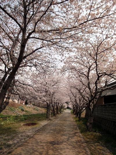 近場で桜のトンネル