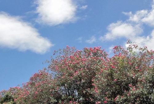 空とキョウチクトウ