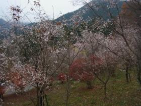 4条峰桜 (1)