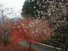 4条峰桜 (2)
