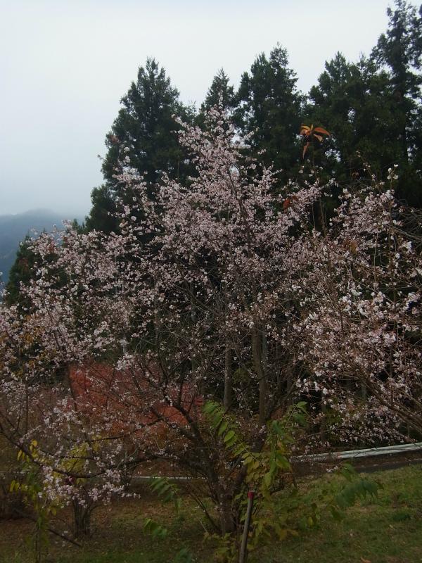 4条峰桜 (3)