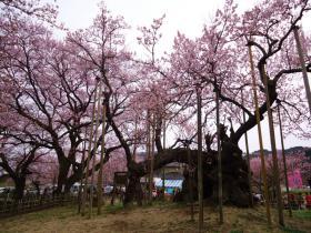 4月神代桜