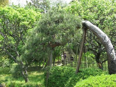 武家屋敷 松の木