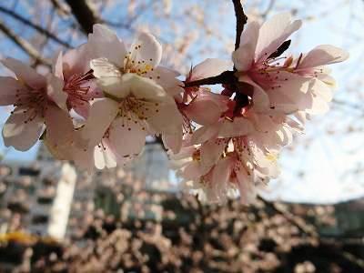 納屋橋の四季桜1
