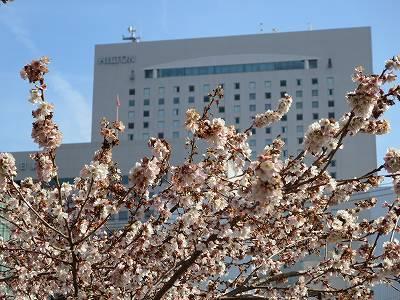 納屋橋の四季桜3