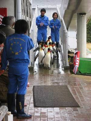 キングペンギンのパレード1