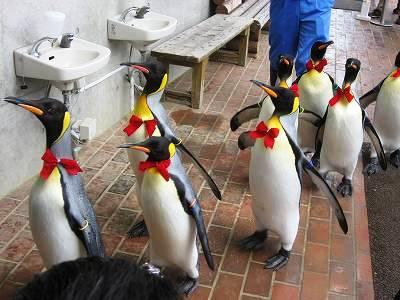 キングペンギンのパレード2 おしゃれしたペンギンたち