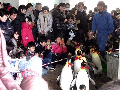 キングペンギンのパレード3