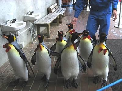 キングペンギンのパレード4