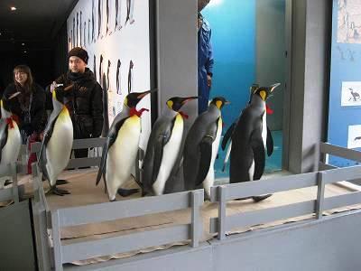 飼育室へ戻るキングペンギン