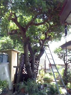 2013ヤマモモの木