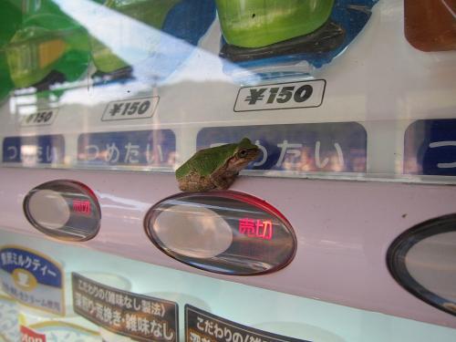 名古屋-敦賀ツーリング・自販機のカエル