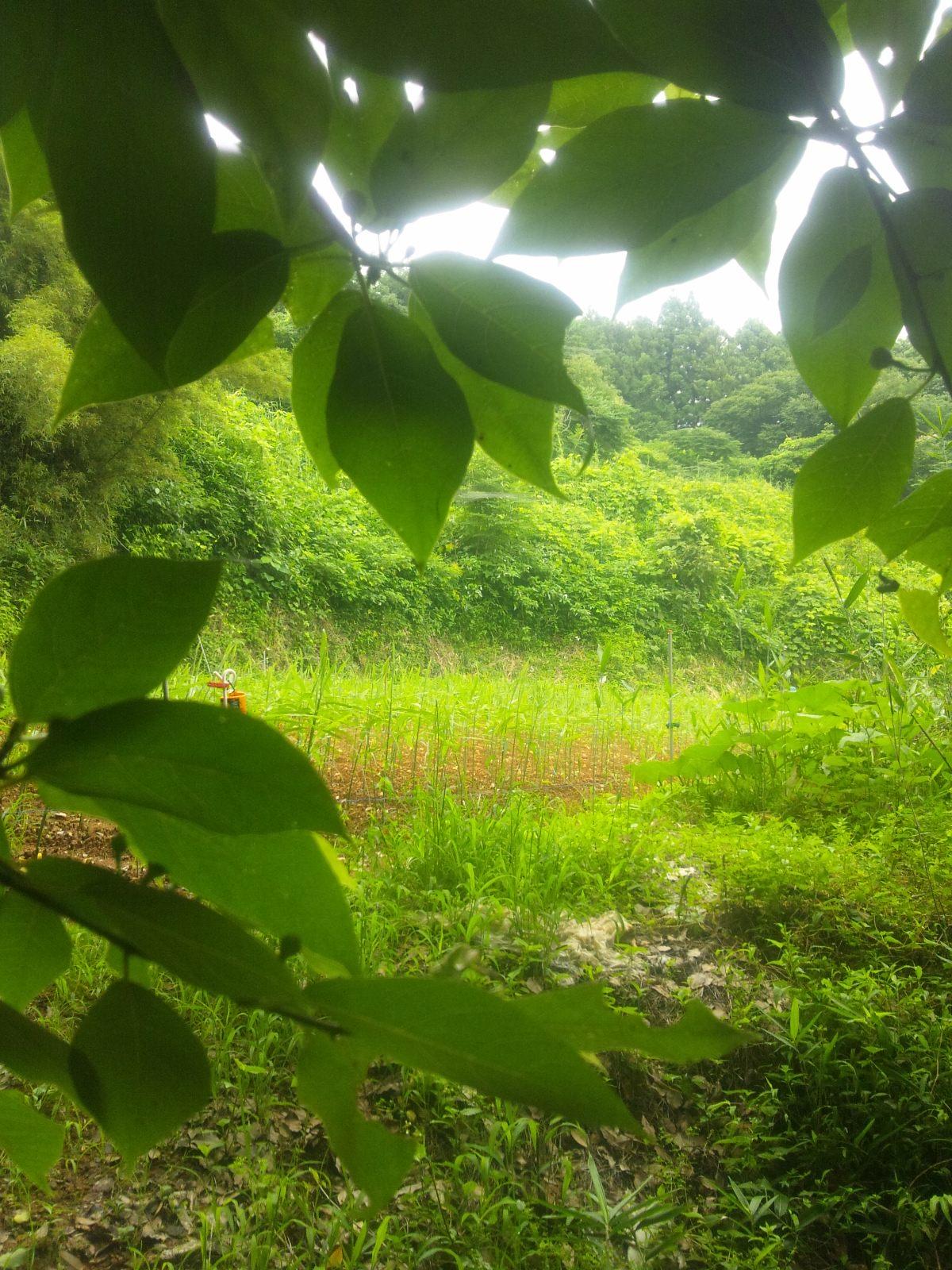 御山の生姜畑