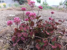 赤い花のクローバー