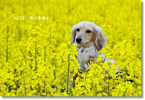 菜の花畑 019