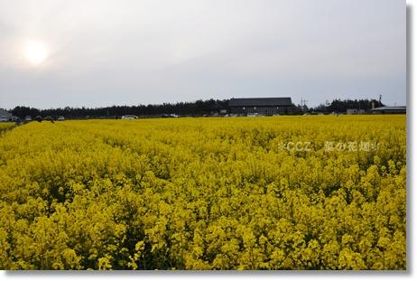 CCZ菜の花畑 030