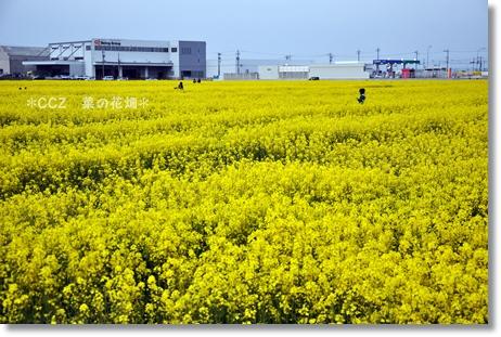 CCZ菜の花畑 001