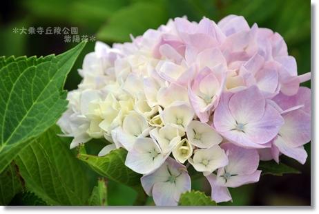大乗寺紫陽花 111