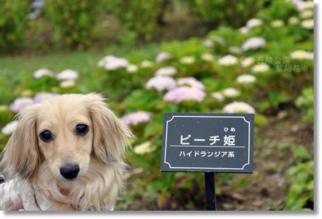 大乗寺紫陽花 077