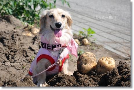野菜の収穫 050