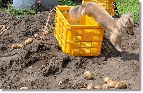 野菜の収穫 192