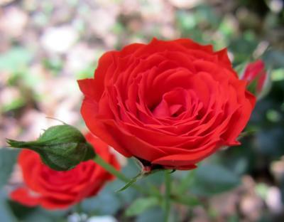 赤いミニ薔薇 川崎