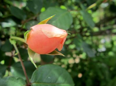 薔薇のつぼみ かわさき