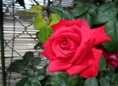 おじさんの赤いバラ