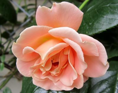 ピンクオレンジの薔薇