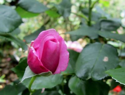 紫の薔薇のつぼみ かわさき
