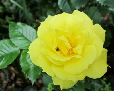 黄色の薔薇 川崎