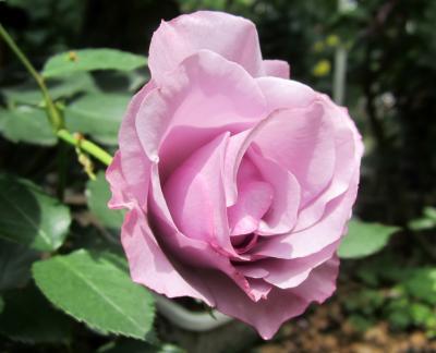 紫の薔薇 川崎