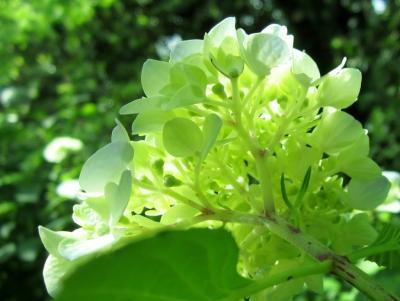 後姿の紫陽花
