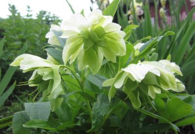 アニマの里に咲くお花たち 3 クリスマスローズ