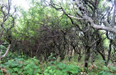 ワッカ原生林